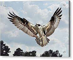 Osprey With Fish In Talons Acrylic Print by Kathy Baccari