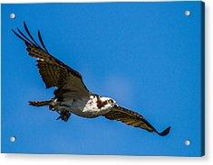 Osprey With Its Little Pray Acrylic Print
