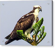 Osprey Acrylic Print by Zina Stromberg
