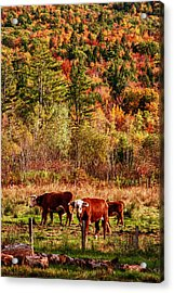 Acrylic Print featuring the photograph Cow Complaining About Much by Jeff Folger