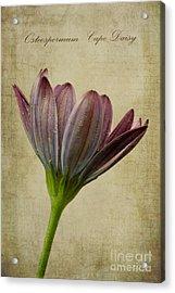 Osteospermum With Textures Acrylic Print by John Edwards