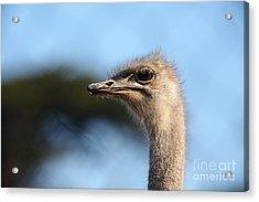 Ostrich 5d27027 Acrylic Print