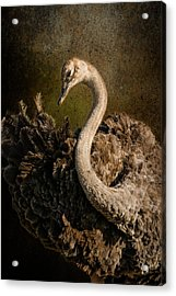 Acrylic Print featuring the photograph Ostrich Ballet by Mike Gaudaur