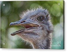 Ostrich Bokeh  Acrylic Print by Douglas Barnard