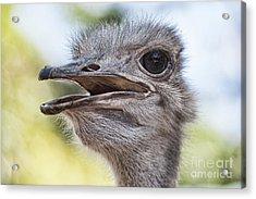 Ostrich Bokeh V2 Acrylic Print by Douglas Barnard