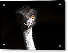 Ostrich Acrylic Print by Daniel Kocian