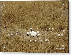 Ostrich Eggs At Nest Site Acrylic Print by Gregory G. Dimijian, M.D.