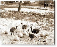 Ostrich Farm, Hot Springs, Ark, Ostriches Acrylic Print by Litz Collection