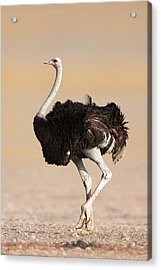 Ostrich Acrylic Print by Johan Swanepoel