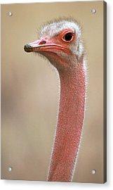 Ostrich Kenya Africa Acrylic Print