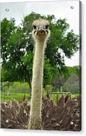 Ostrich Says What Acrylic Print