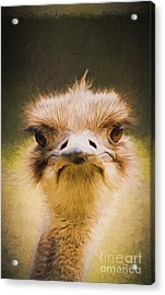 Ostrich Acrylic Print by Avalon Fine Art Photography