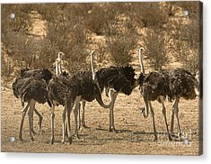 Ostriches Acrylic Print by Bob Gibbons