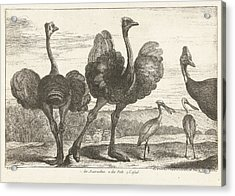 Ostriches, Cassowary And Spoonbill, Grard Scotin Acrylic Print
