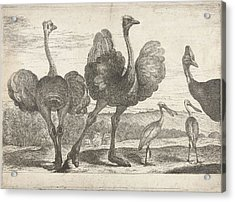 Ostriches, Cassowary And Spoonbill, Peeter Boel Acrylic Print