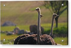 Ostriches Acrylic Print by Dan Sproul