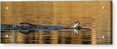 Acrylic Print featuring the photograph Otter Catch by Yeates Photography