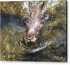 Otter In Florida Acrylic Print
