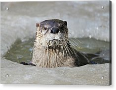 Otter, Lutra Lutra Acrylic Print