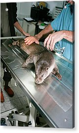 Otter (lutra Lutra) Research Acrylic Print by Photostock-israel