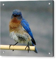 Our Own Mad Bluebird Acrylic Print by Betty Pieper