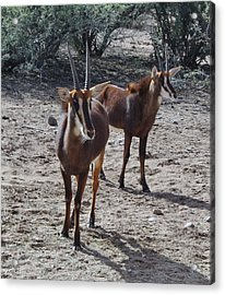Out Of Africa B Acrylic Print