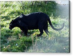 Out Of Africa  Black Panther Acrylic Print