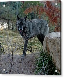 Out Of Africa Black Wolf Acrylic Print