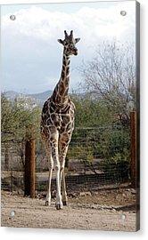 Out Of Africa  Giraffe 1 Acrylic Print