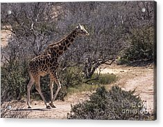 Out Of Africa Giraffe Acrylic Print by Janice Rae Pariza