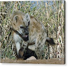 Out Of Africa  Hyena 2 Acrylic Print