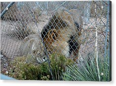 Out Of Africa Lions 4 Acrylic Print