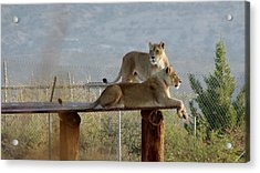 Out Of Africa Lions Acrylic Print
