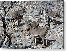 Out Of Africa  Mountain Goats Acrylic Print