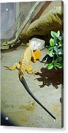 Out Of Africa Orange Lizard 2  Acrylic Print