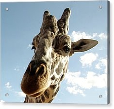 Out Of Africa  Reticulated Giraffe Acrylic Print