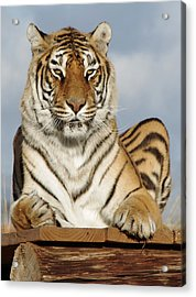 Out Of Africa Tiger 4 Acrylic Print