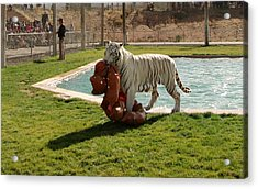 Out Of Africa Tiger Splash 2 Acrylic Print