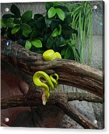 Out Of Africa Tree Snake Acrylic Print