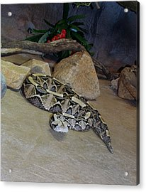 Out Of Africa Viper 2 Acrylic Print
