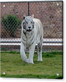 Out Of Africa White Tiger Acrylic Print
