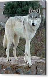 Out Of Africa Wolf  Acrylic Print