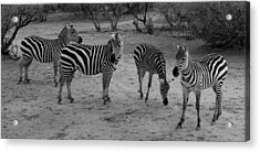 Out Of Africa  Zebras Acrylic Print