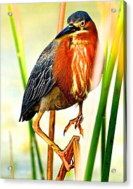 Out On A Reed Acrylic Print by AnnaJo Vahle