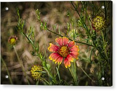 Outer Banks Wildflower Acrylic Print by Bradley Clay