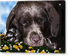 Outside Portrait Of A Chocolate Lab Puppy  Acrylic Print by Chris Goulette