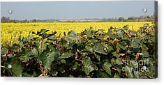 Over The Hedge Acrylic Print by Linda Prewer