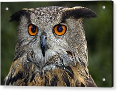 Owl Bubo Bubo Portrait Acrylic Print