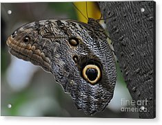 Acrylic Print featuring the photograph Owl Butterfly by Bianca Nadeau