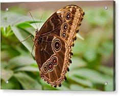 Owl Butterfly Acrylic Print by Mae Wertz